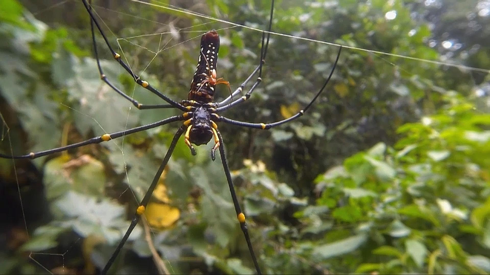 Nephila in Sulawesi