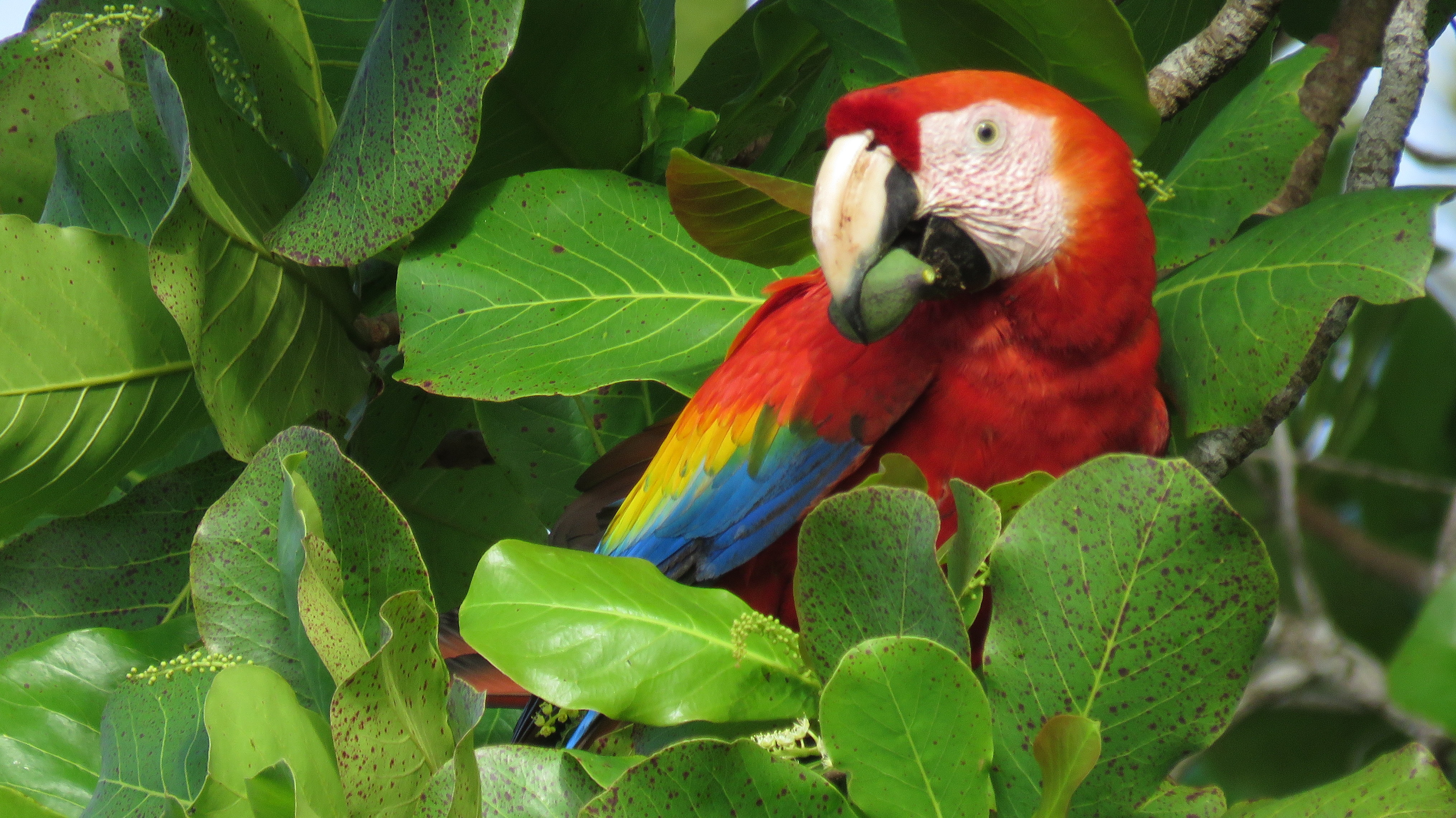 Hellroter Ara in Costa Rica