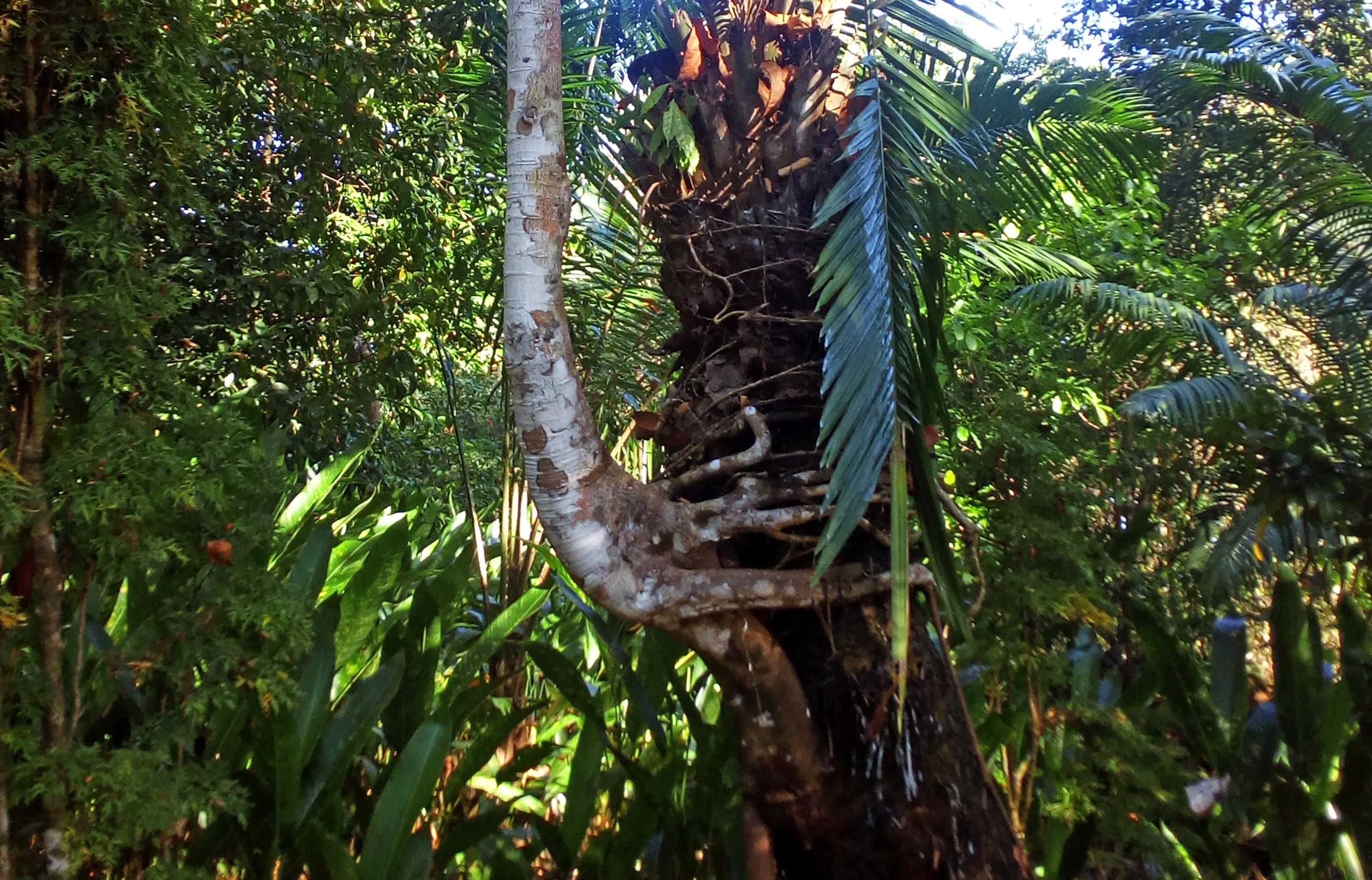 Ficus als Aufsitzer in inniger Umarmung