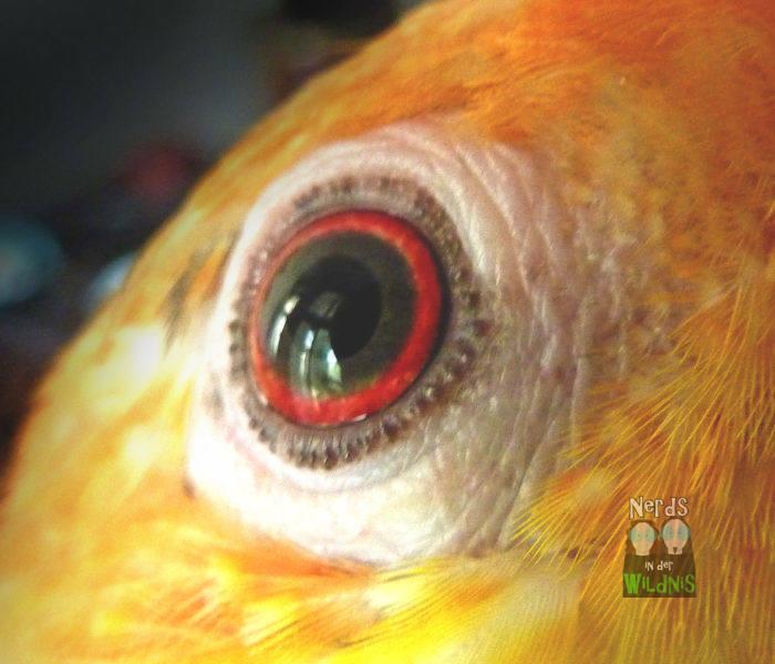 Auge des Rostkappenpapageis