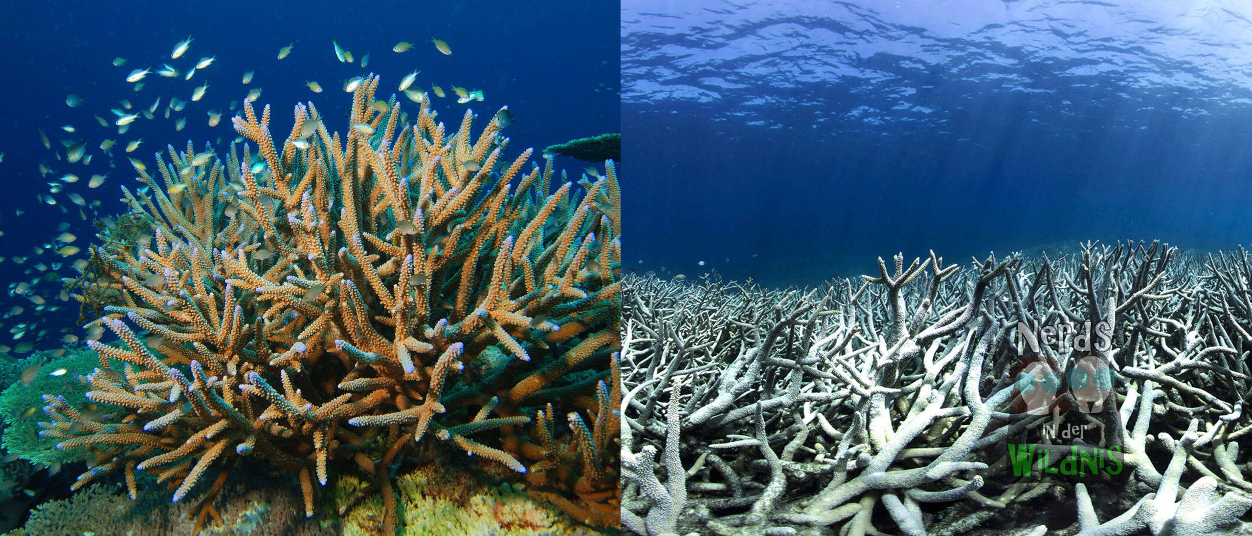 Klimawandel: Korallenbleiche
