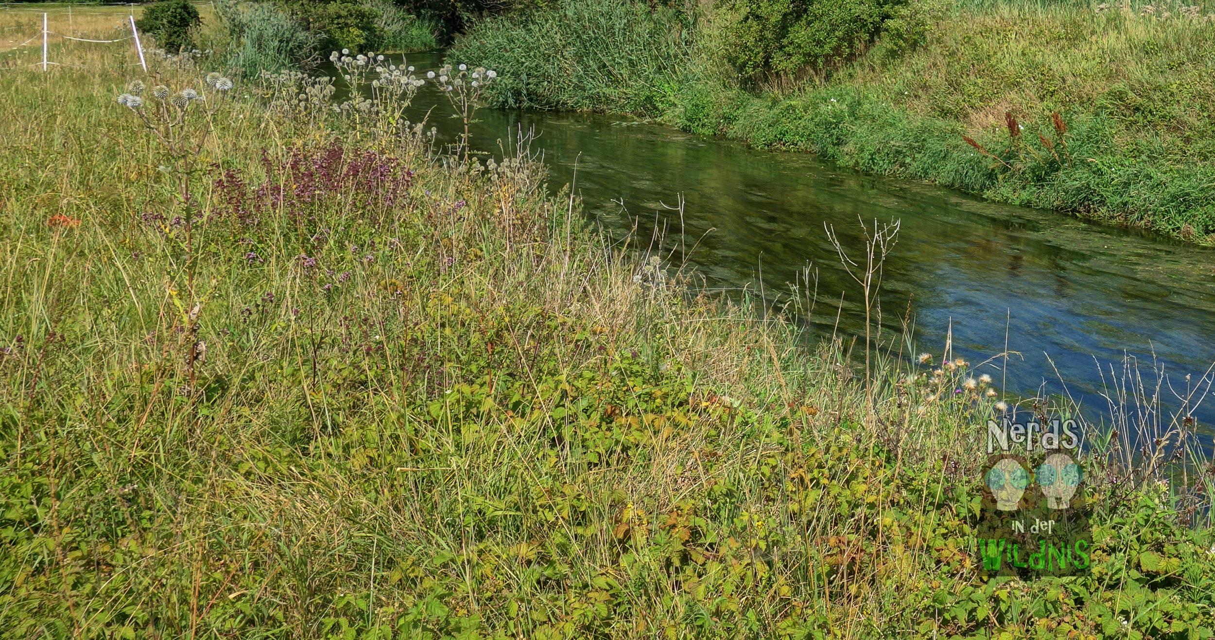 Typisches Habitat von Argiope bruennichi